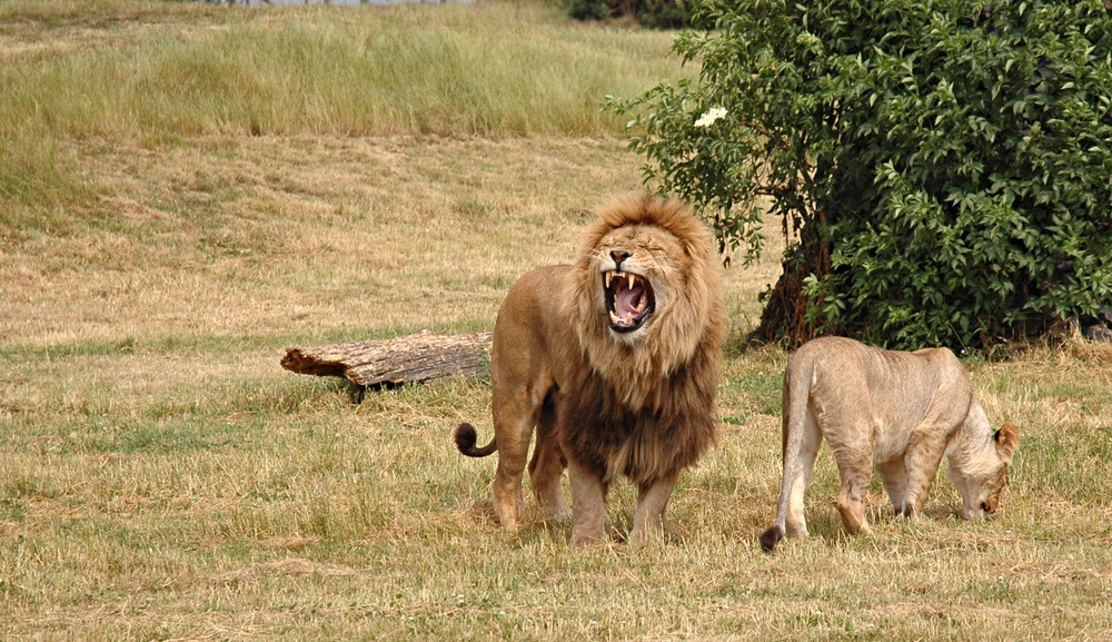 Pair_of_lions.