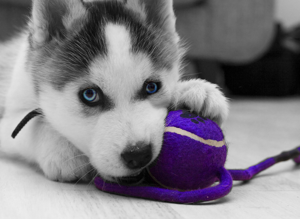 siberian_husky_puppy-other.