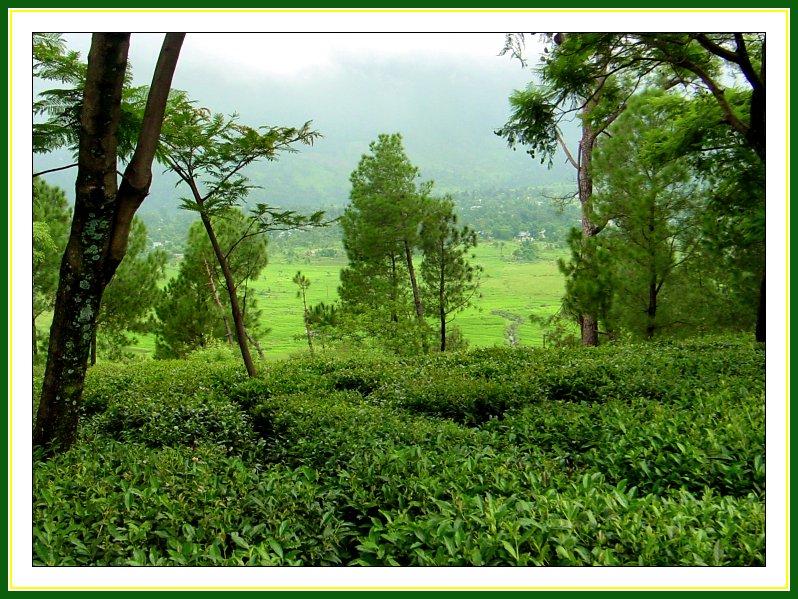 tea_garden_in_kangra_valley.